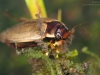 Diving beetle (Colymbetes fuscus)