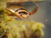 Diving beetle (Graphoderus cinereus)