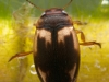 Diving beetle (Hydroporus palustris)