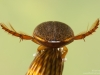 Diving beetle (Rhantus suturalis)
