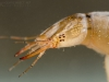 Great diving beetle larva (Dytiscus marginalis)