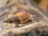 Freshwater snail (Stagnicola sp.)