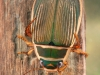 Great diving beetle (Dytiscus marginalis)