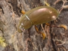 Lesser silver water beetle (Hydrochara caraboides)