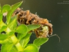 Case-building caddisfly larva (Oecetis sp.)