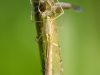 Spread-winged damselfly (Lestes sponsa) emerging