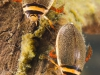 Diving beetles (Graphoderus sp.)