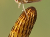 Water boatman (Corixidae)