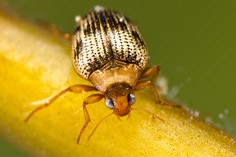 Crawling water beetles (Haliplidae)