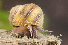 Freshwater snails and limpets