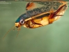 Diving beetle (Cybister lateralimarginalis)