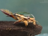 Diving beetle (Cybister lateralimarginalis)