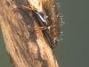 Water scavenger beetle (Helochares obscurus)