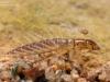 Alderfly larva (Sialis lutaria)