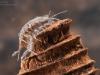 Aquatic sow bug (Asellus aquaticus)