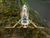 Backswimmer (Notonecta glauca)