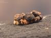 Caddisfly pupa (Trichoptera)