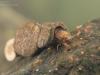 Case-building caddisfly larva (Goera pilosa)
