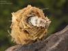 Case-building caddisfly larva (Limnephilus rhombicus)