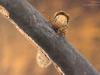 Case-building caddisfly larva (Potamophylax rotundipennis)