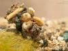 Case-building caddisfly larva (Limnephilus flavicornis)