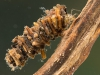 Case-building caddisfly larva (Oecetis sp.)