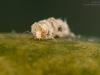 Case-building caddisfly larva (Athripsodes cinereus)
