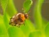 Crawling water beetle (Haliplus ruficollis)