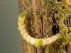 Crawling water beetle larva (Haliplidae)