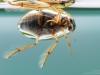 Crawling water beetle (Berosus signaticollis)
