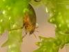 Crawling water beetle (Haliplidae)