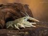 European crayfish (Astacus astacus)