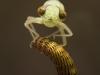 Darner dragonfly nymph (Aeshnidae)