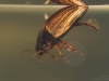 Diving beetle (Agabus sturmii)