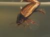 Diving beetle (Agabus sturmii)