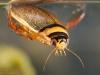 Diving beetle (Graphoderus cinereus)