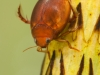 Diving beetle (Hyphydrus ovatus)