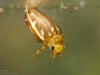 Diving beetle (Laccophilus hyalinus)