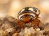 Diving beetle (Platambus maculatus)