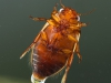 Diving beetle (Platambus maculatus)
