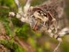 Emerald dragonfly nymph (Corduliidae)
