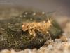 Flathead mayfly nymphs (Ecdyonurus sp.)