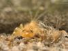 Flathead mayfly nymph (Ecdyonurus sp.)