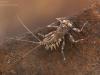 Flathead mayfly nymph (Electrogena sp.)
