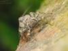 Flathead mayfly nymph (Heptageniidae)