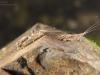 Flathead mayfly nymphs (Heptageniidae)