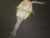 Copepod (Copepoda)