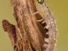 Free-living caddisfly larva (Rhyacophilidae)