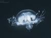 Freshwater jellyfish (Craspedacusta sowerbyi)