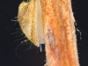 Freshwater limpet (Planorbidae, Ferrissia)